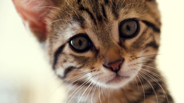 portret materiału małego kotka z tabby patrzącego na kamerę. - cat filmów i materiałów b-roll