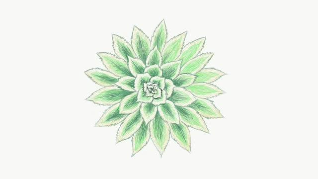 Footage Sketch of Aeonium Sunburst Plant