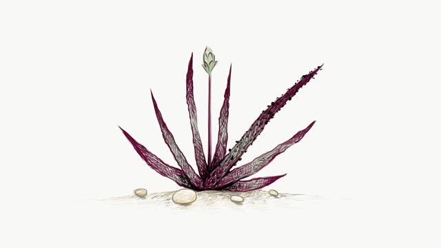 Footage Sketch of Aloe Black Beauty Plant
