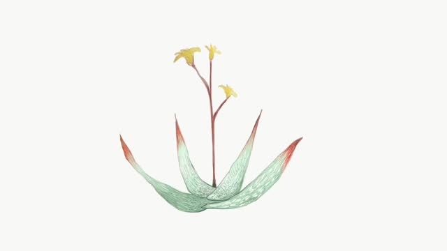 Footage Sketch of Aloe Buhrii or Spotted Aloe Plant