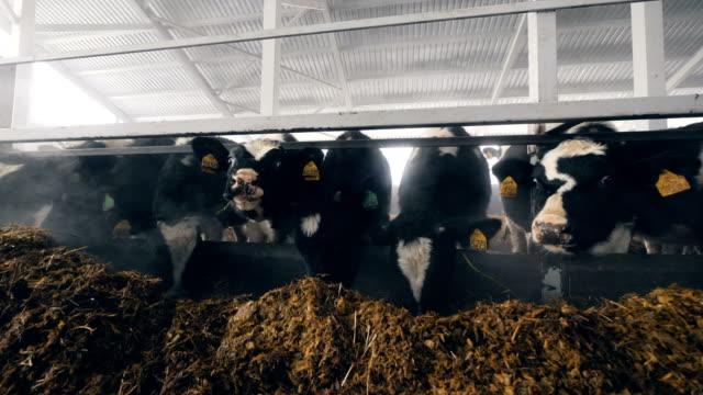 vidéos et rushes de le fourrage est mangé par les vaches dans une grange - vache laitière