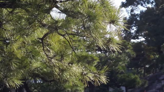 vídeos y material grabado en eventos de stock de bosque y evergreen pine tree avanzando en el viento - pino conífera