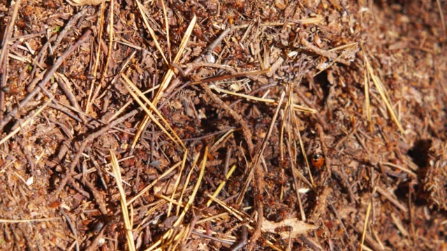 forest ants attacking a Ladybird caught on a anthill