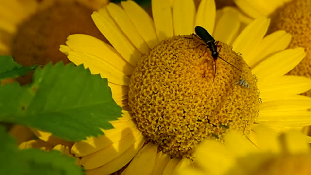 a forest beetle collects pollen from a flower. - жук стоковые видео и кадры b-roll
