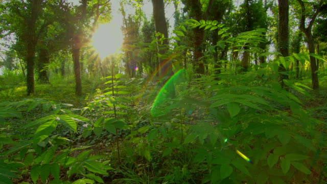 Forest dawn, time lapse motorized slider HDR with moving tree shadows and sunbeams video