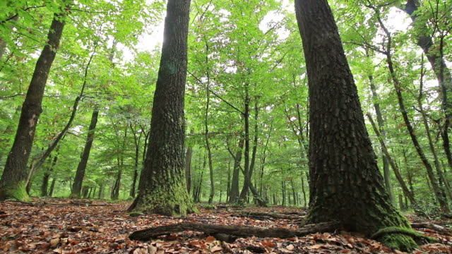 Forest detail with hornbeam and oak trees video
