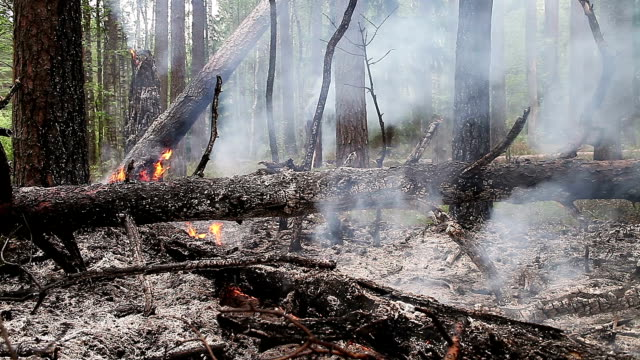 Forest fire in pine forest. video