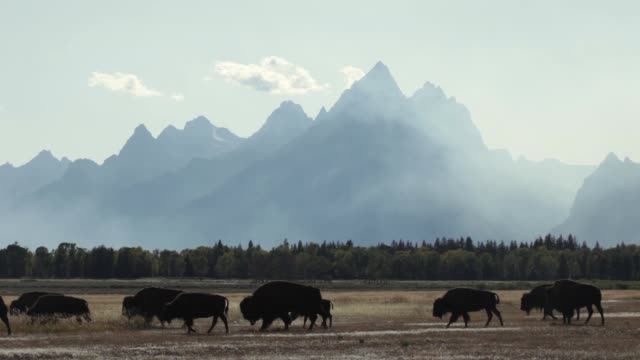 forest fire smoking silhouetted bison herd grand tetons national park wyoming - parco nazionale video stock e b–roll