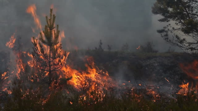Forest fire with burning young pine video