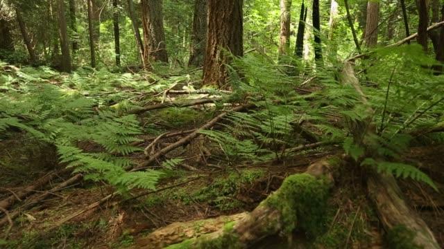 Forest Floor Ferns dolly shot video