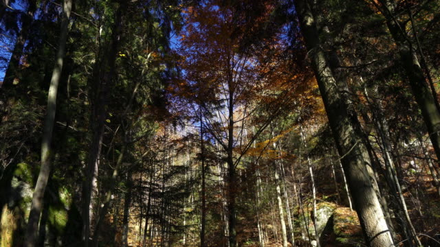 Forest in Autumn video