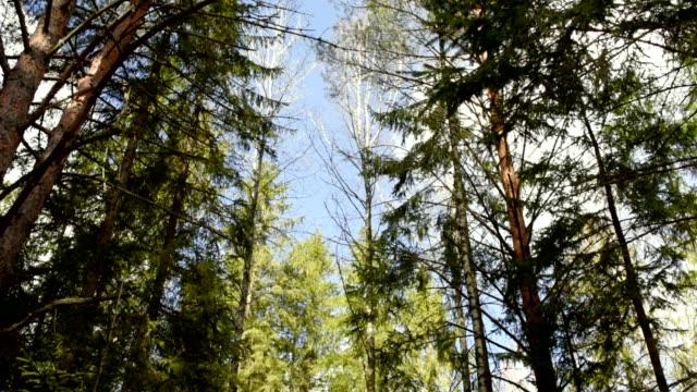 vídeos y material grabado en eventos de stock de bosque en principios de la primavera - pino conífera
