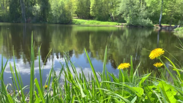 forest landscape, pond or the lake in the forest, green coast, dandelions and a grass in the foreground, silence, singing of birds, sky and wood reflection on water - {{relatedsearchurl(carousel.phrase)}} video stock e b–roll