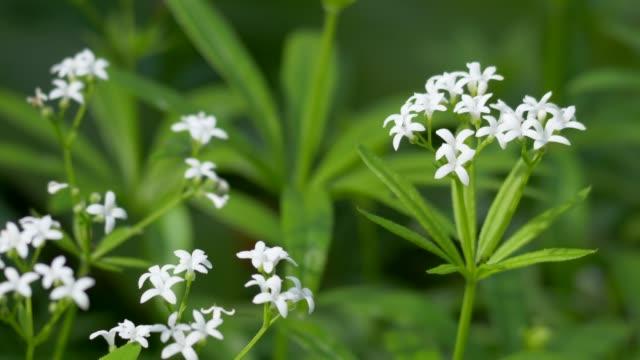 forest master (galium odoratum) - центральная европа стоковые видео и кадры b-roll