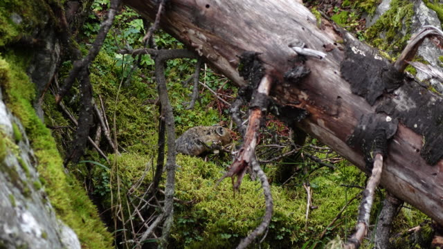 Forest Pika video