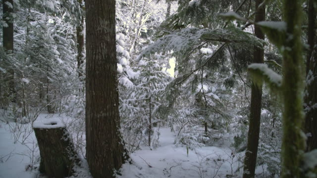 Forest Snow, Pacific Northwest 4K UHD video