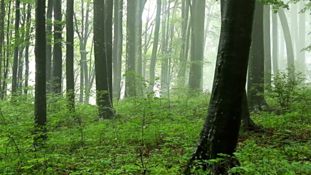 Forest time lapse with drifting fog through trees video