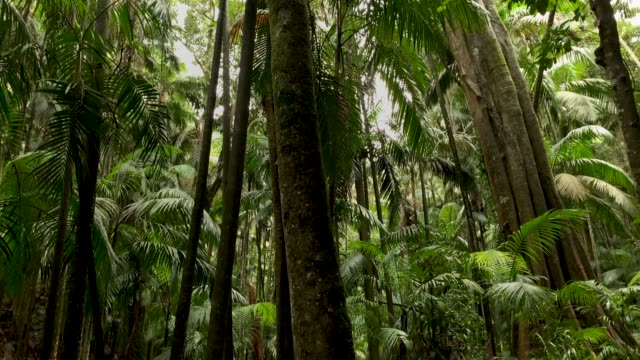 Forest Trail and Rainforest Canopy in Australian Rainforest 4K