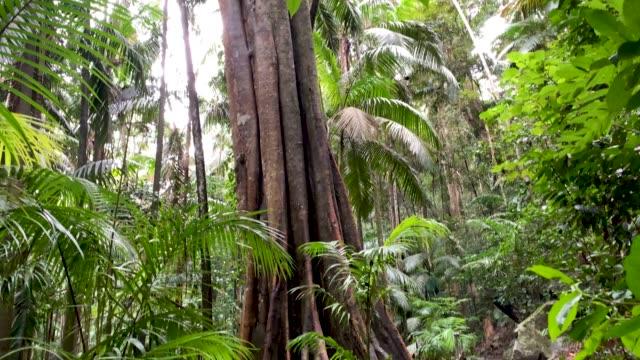 Forest Trail and Rainforest Canopy in Australian Rainforest 4K