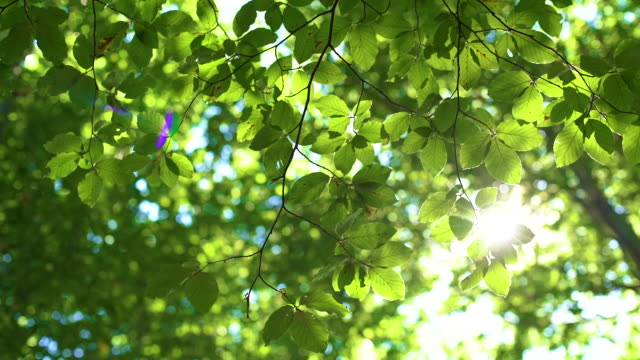 Forest tree and green leaves glowing in sunlight, vintage lens video