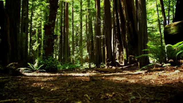 una profonda foresta albero nel letto redwoods della california. - yeti video stock e b–roll