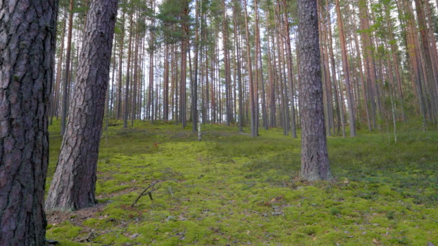 Forest trees found in the Piusa Nature Reserve in Estonia video