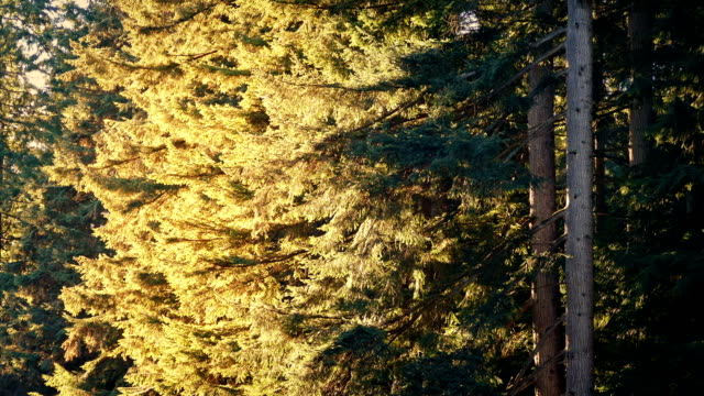 Forest Trees In Breeze On Sunny Evening video