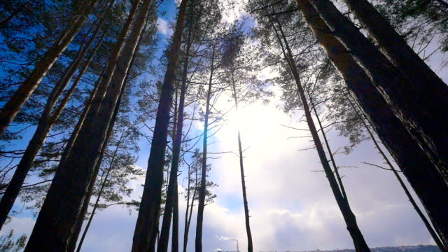 waldbäume, kiefern und sonnenlicht. niedrigen winkel kamerafahrt dolly. - kiefernwäldchen stock-videos und b-roll-filmmaterial