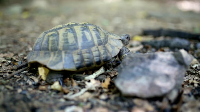 Forest turtle Forest turtle zoology stock videos & royalty-free footage