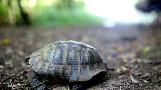 Forest turtle Forest turtle tortoise stock videos & royalty-free footage
