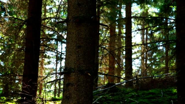 wald mit conifers - kiefernwäldchen stock-videos und b-roll-filmmaterial