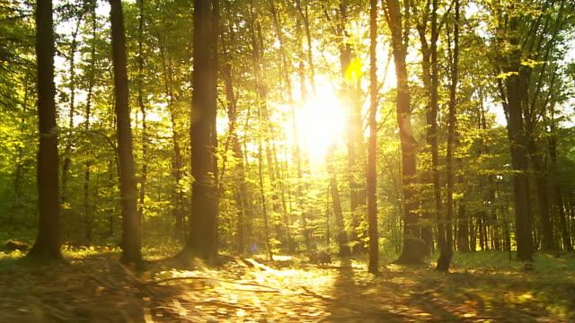 hd: forest with direct sunlight behind trees - panorering bildbanksvideor och videomaterial från bakom kulisserna