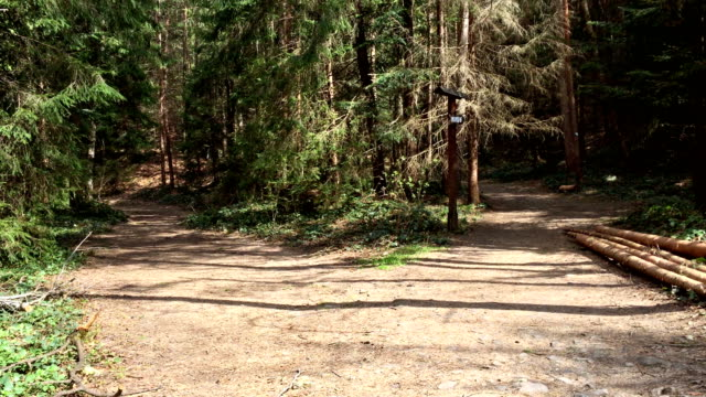 Forked road in the pine forest. Two footpaths at a forest crossroad.