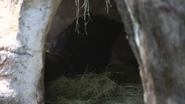 A Formosa Black Bear, Ursus Thibetanus Formosanus, sleeping in the cave An adult Formosa Black Bear sleeping in the cave at a day hot summer, Ursus Thibetanus Formosanus-Dan cave stock videos & royalty-free footage