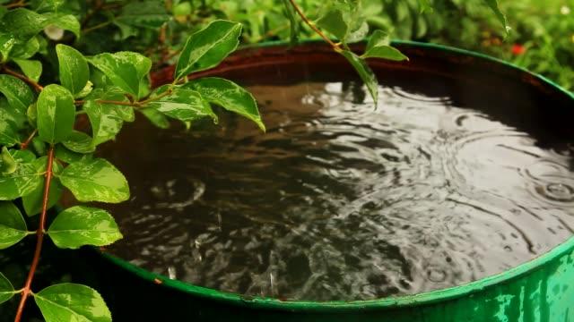 Forsythia bush and rainwater barrel