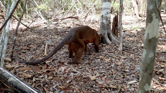 Fossa a wild Fossa roams a forest camp in search of food in Western Madagascar madagascar stock videos & royalty-free footage