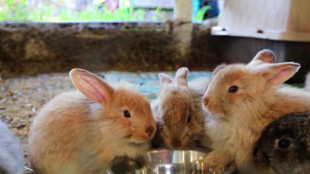 Four adorable fluffy bunny rabbits eating out of same silver bowl at the country fair