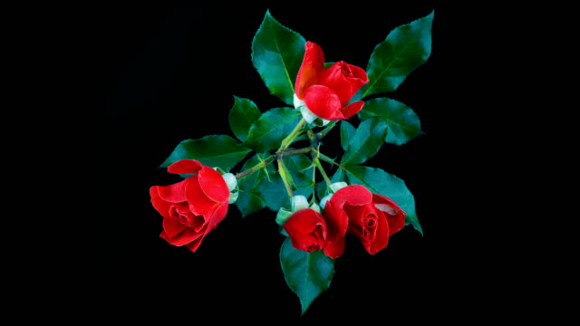 Four beautiful red roses blooms and fades. Time lapse. Isolated on black background