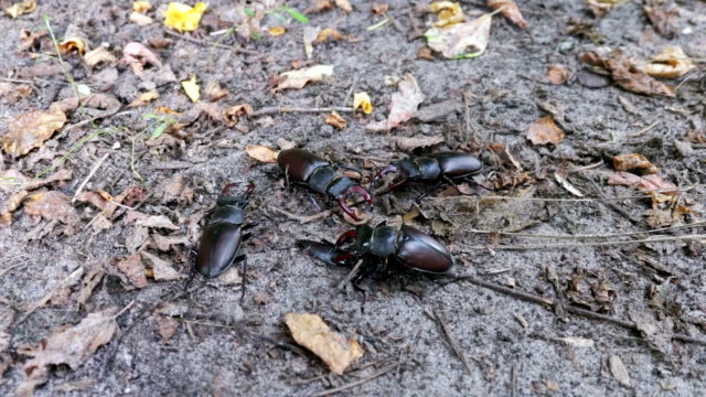 Four Beetle Deer Creeps on the Ground video