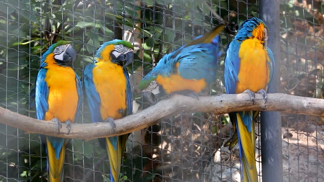 Four Blue and Yellow Macaw Perched on a Tree Branch video
