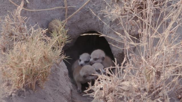 Four cute baby meerkats at burrow entrance, Botswana video