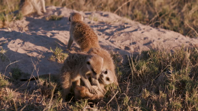 Four cute baby meerkats playing ontop of their burrow video