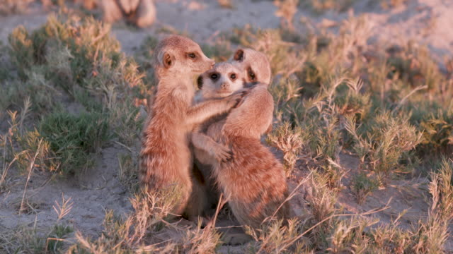 Four cute baby meerkats playing video