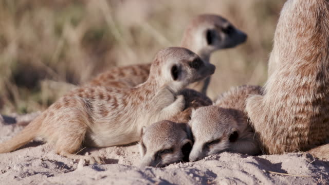Four cute sleepy baby meerkats ontop of their burrow video