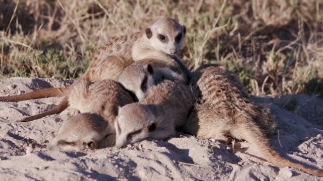 Four cute sleepy baby meerkats video