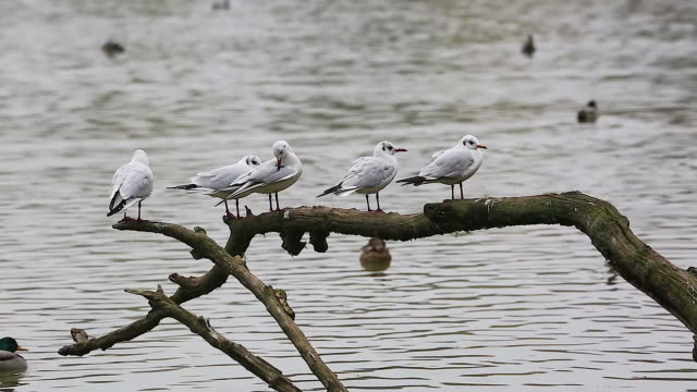Four Gulls on a Tree Branch video