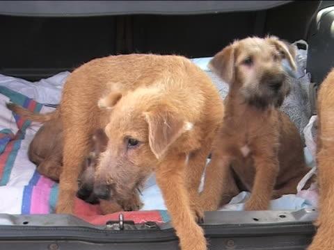 vier kleine irische wolfhounds - schnauze stock-videos und b-roll-filmmaterial