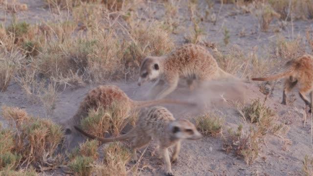 Four meerkats clearing entrance to burrow, Botswana video