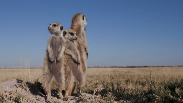 Four meerkats standing up on sentry duty,looking into the distance video