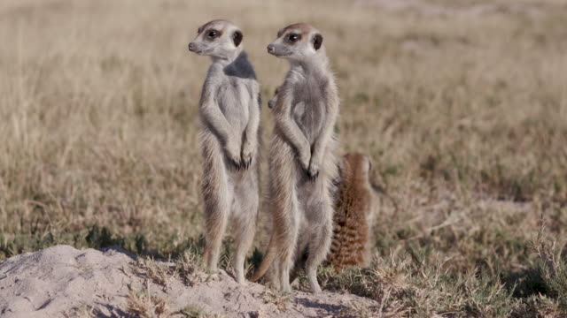 Four meerkats sunning themselves on the edge of their burrow video